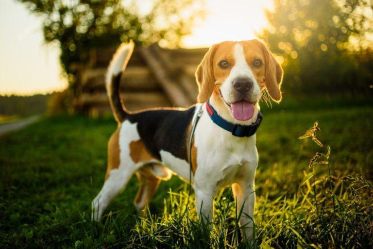 beagle_Shutterstock_Przemek Iciak
