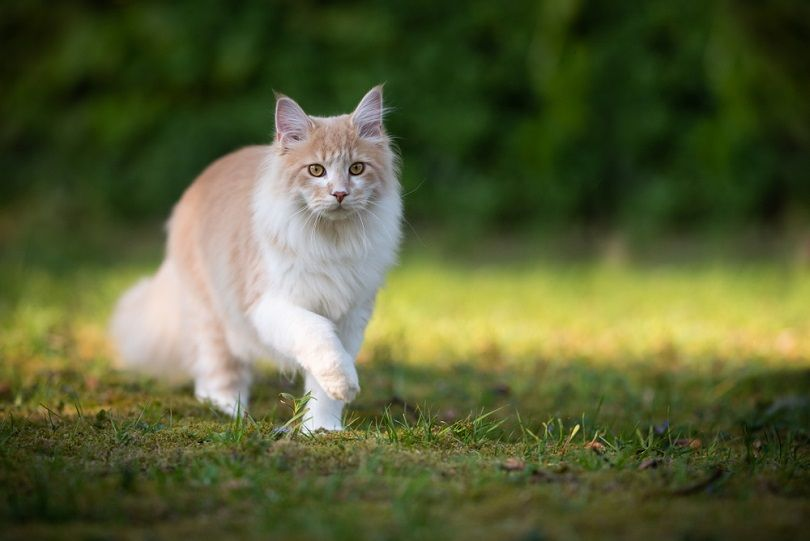 beige fawn maine coon cat on the move walking