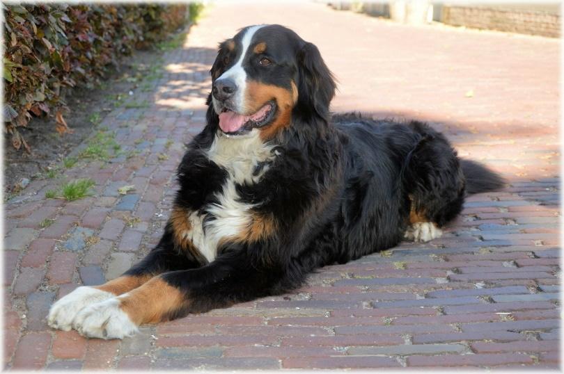 bernese mountain dog_PublicDomainPictures_Pixabay