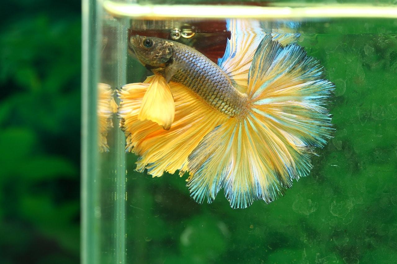 betta fish inside aquarium