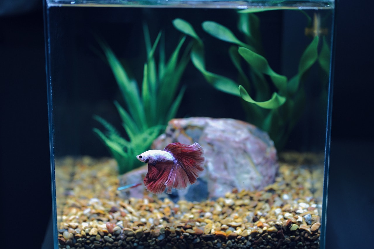 betta fish surrouned with aquatic plants