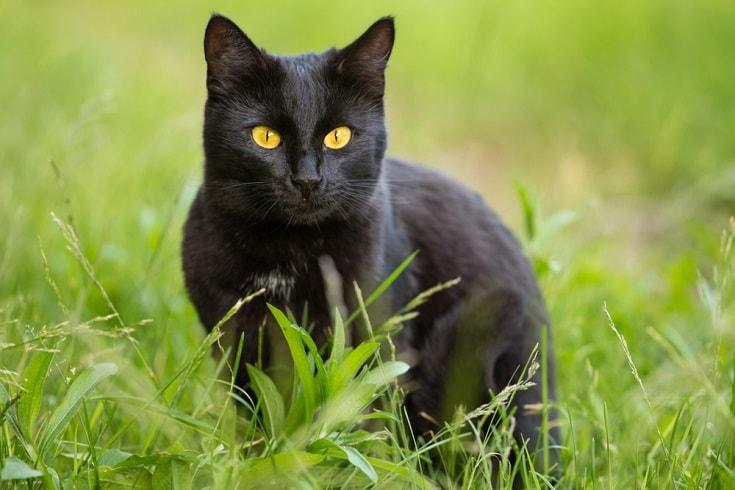 bombay cat_Viktor Sergeevich_Shutterstock