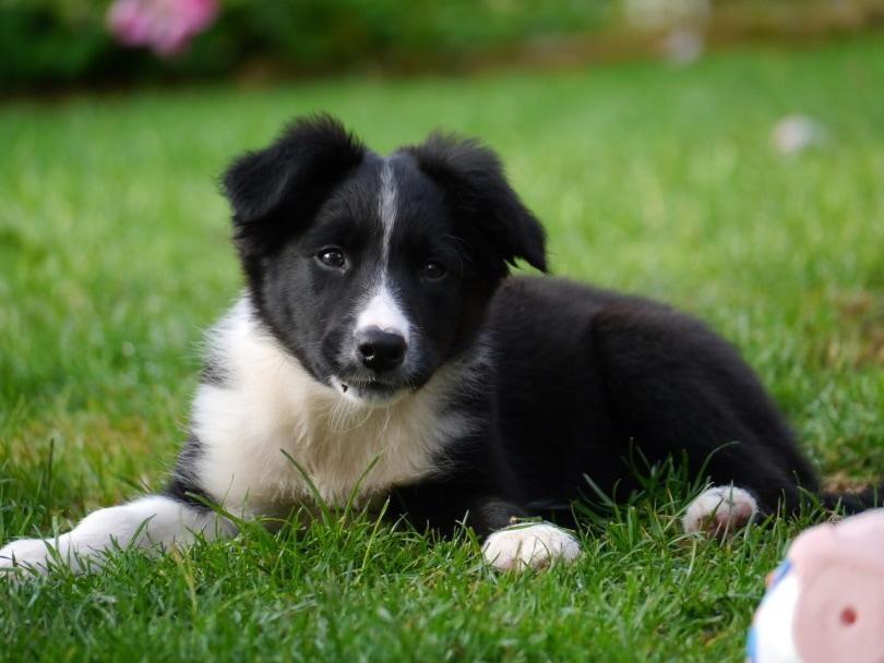 border-collie puppy_Steve Lancaster_Pixabay