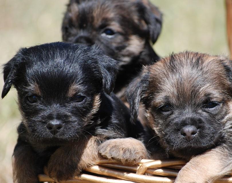 border terrier puppies_voodoo96_Pixabay