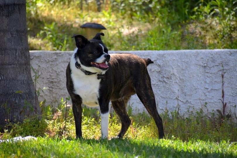 boston terrier chihuahua_Alyssa Culpepper_Shutterstock