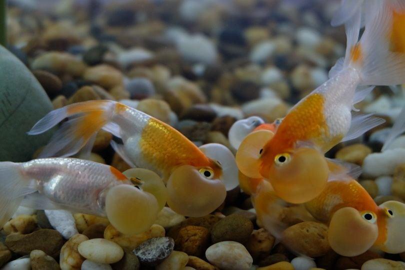 buble eye goldfish_Salamatdoh_Shutterstock