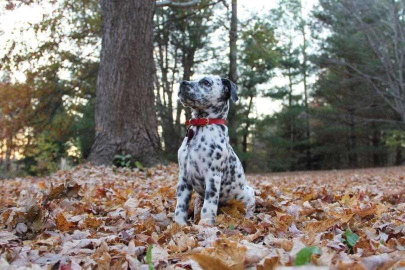 bullmatian-outside-on-leaves_Mandy Coy_Shutterstock