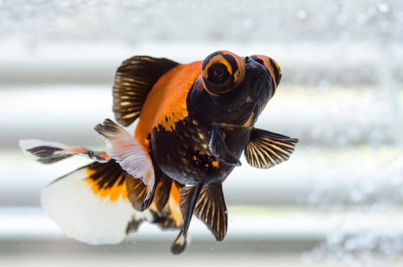butterfly gold fish_stuphipps_Shutterstock