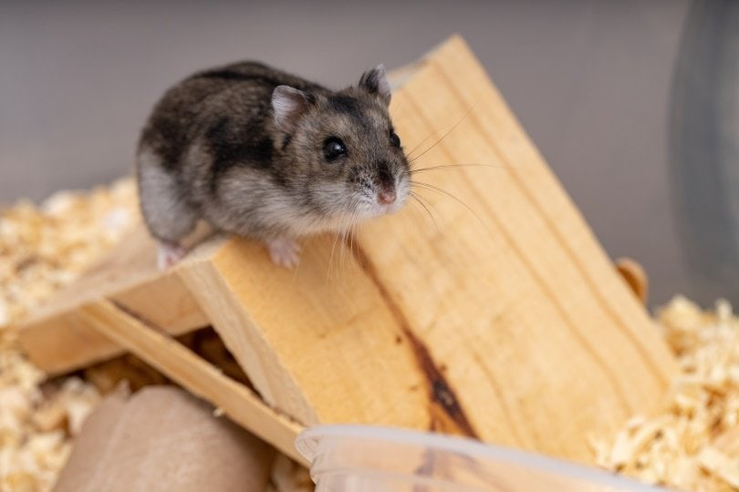 campbell hamster_Vinicius R. Souza_Shutterstock