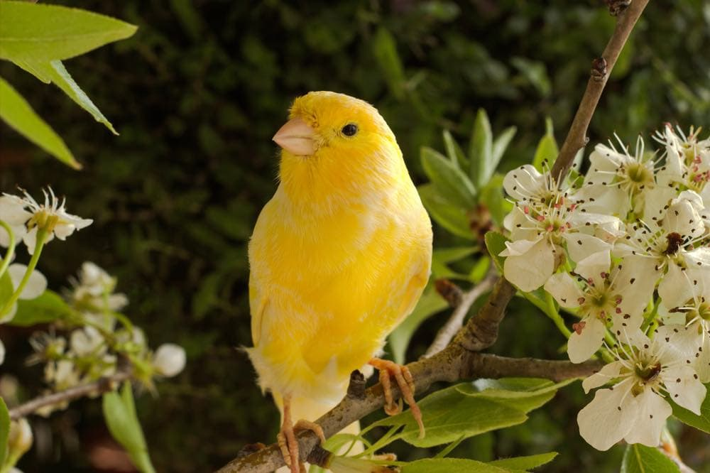 canary bird on branch with flowers