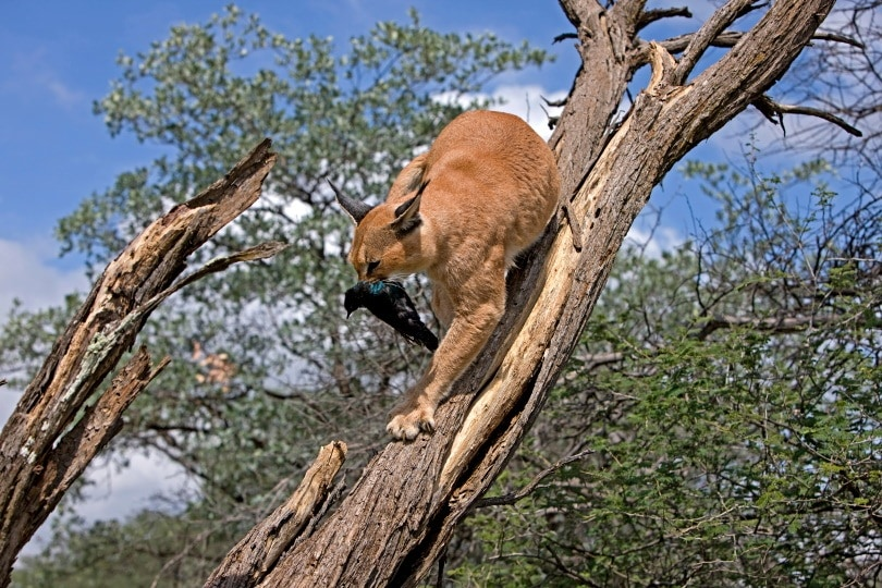 caracal eating_slowmotiongli_Shutterstock