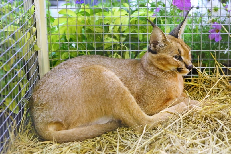 caracal in cage_GOLFX_Shutterstock