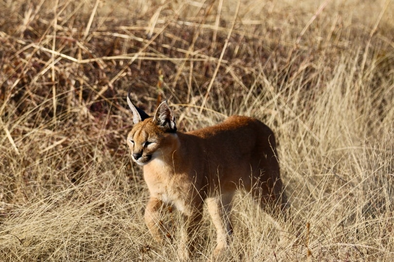 caracal in wild_Piqsels