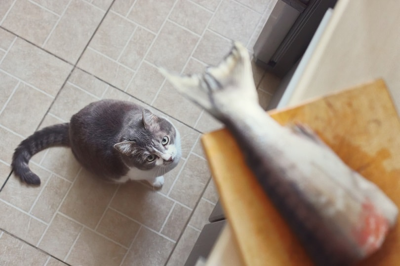 cat-obediently-waits-for-salmon_PakulinSergei_shutterstock