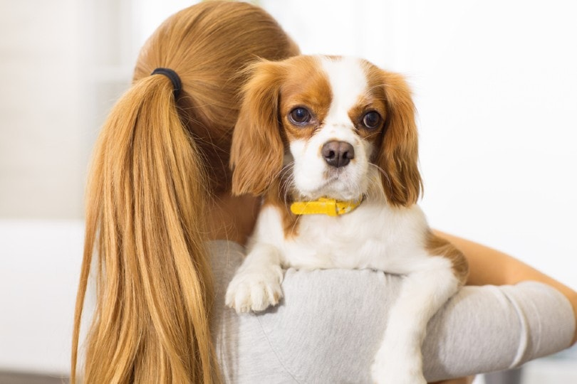 cavalier king charles spaniel in the hands of his female owner