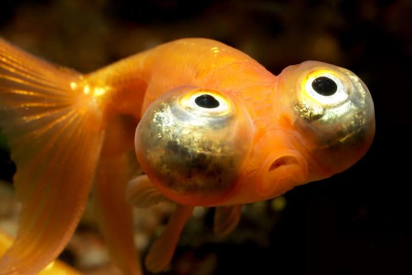 celestial eye goldfish_Dan Olsen_Shutterstock