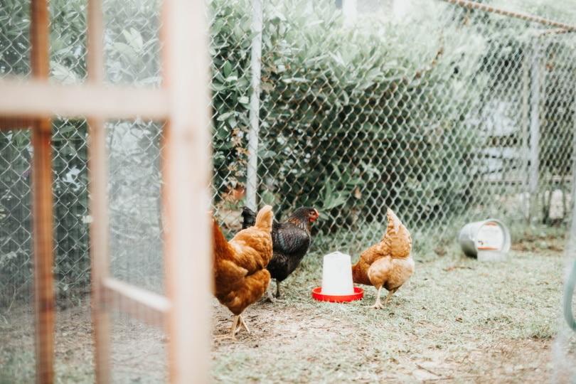 chicken feeder_Piqsels