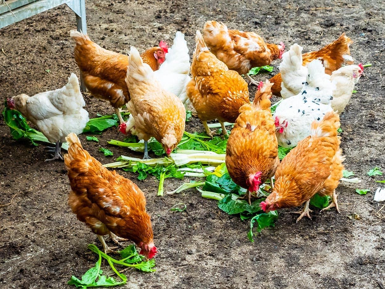 chickens eating veggies
