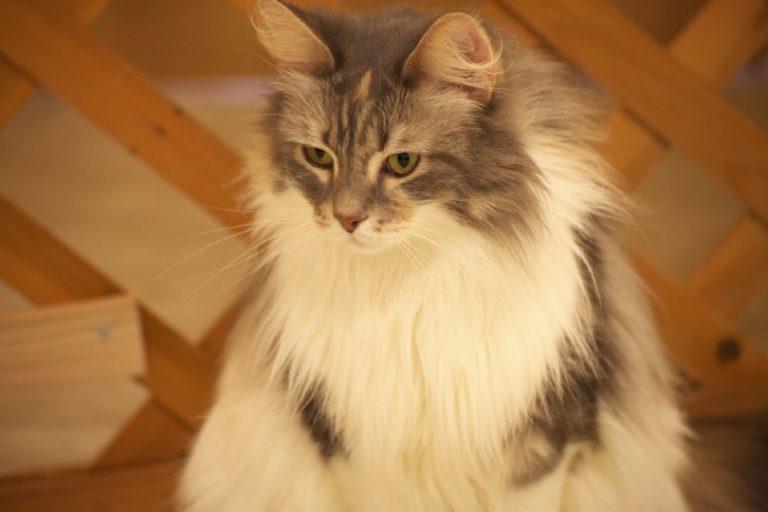 chinchilla silver manx cat_Shutterstock_applevinci