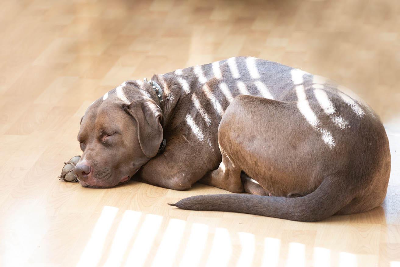 Chocolate American Bulldog Labrador