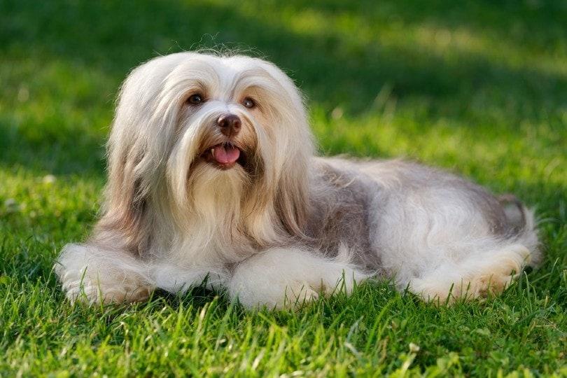 havanese dog_Dorottya Mathe, Shutterstock