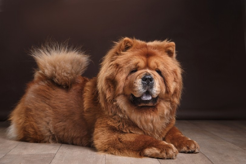 chow chow on a retro vintage background