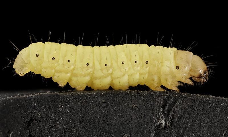 closeup of a waxworm