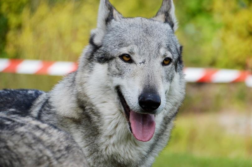 czechoslovakian-wolfdog-pixabay2