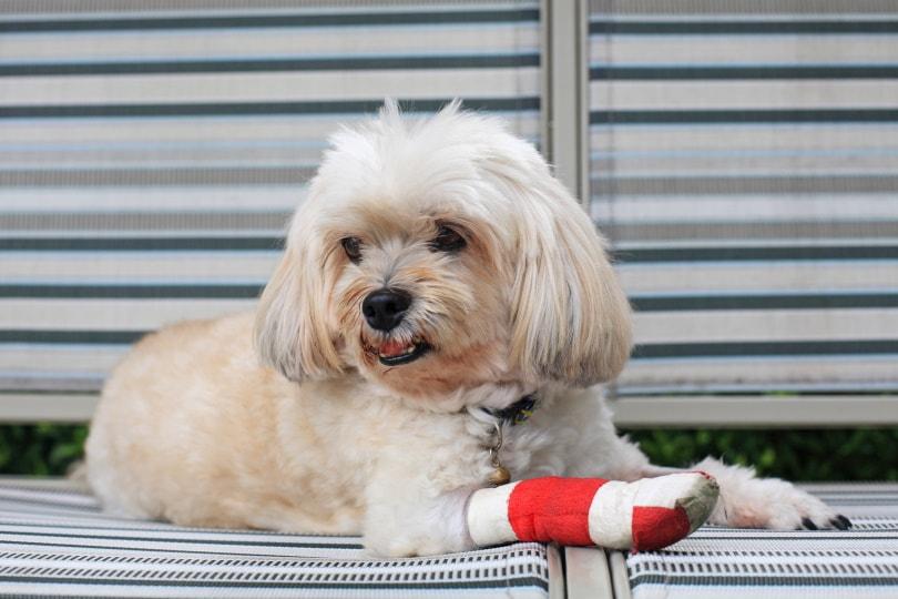 dog injury_Blanscape_Shutterstock