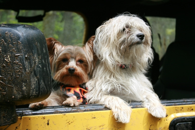 dogs in car_Christian LeBlanc_Pixabay