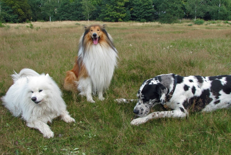 dogs in grass_Piqsels