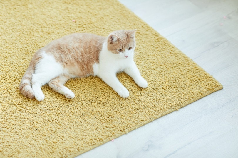 domestic cat resting on the floor