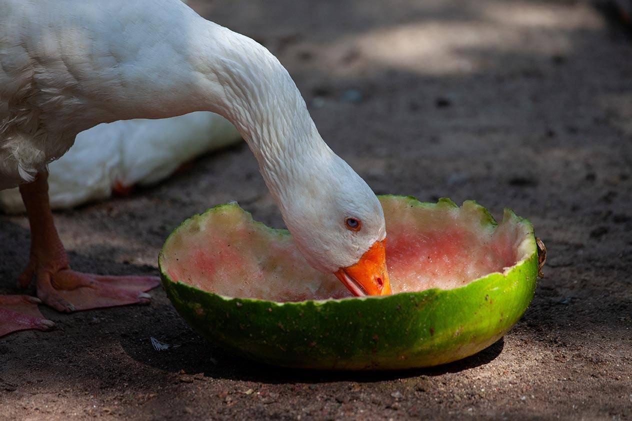 Duck eating watermelon