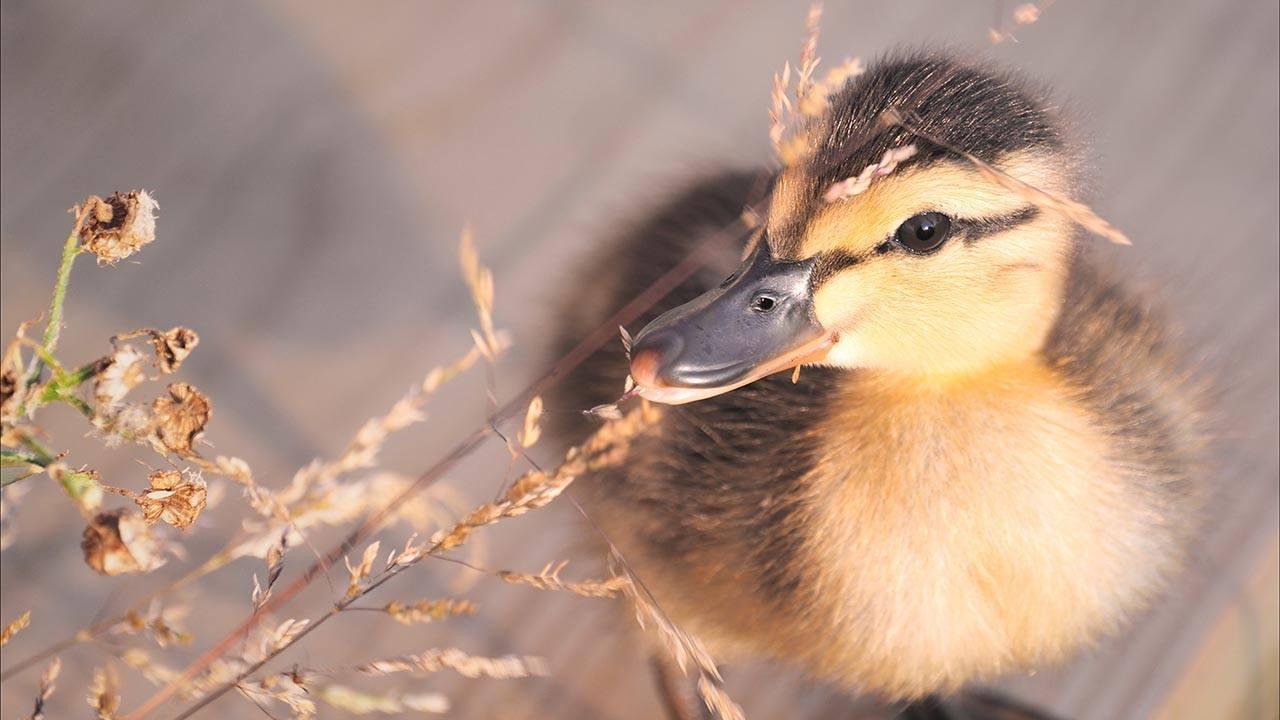 duckling eating weed