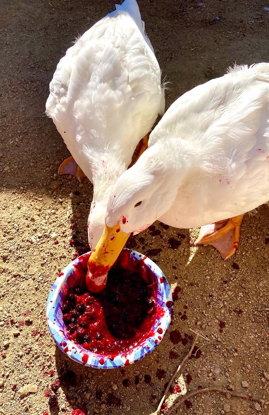 Ducks Eating blueberries