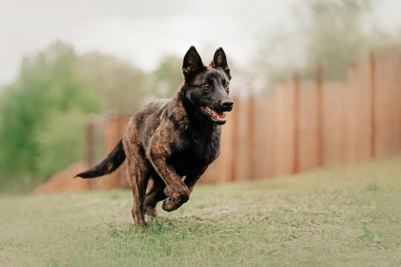dutch-shepherd-dog_Ksenia-Raykova_shutterstock
