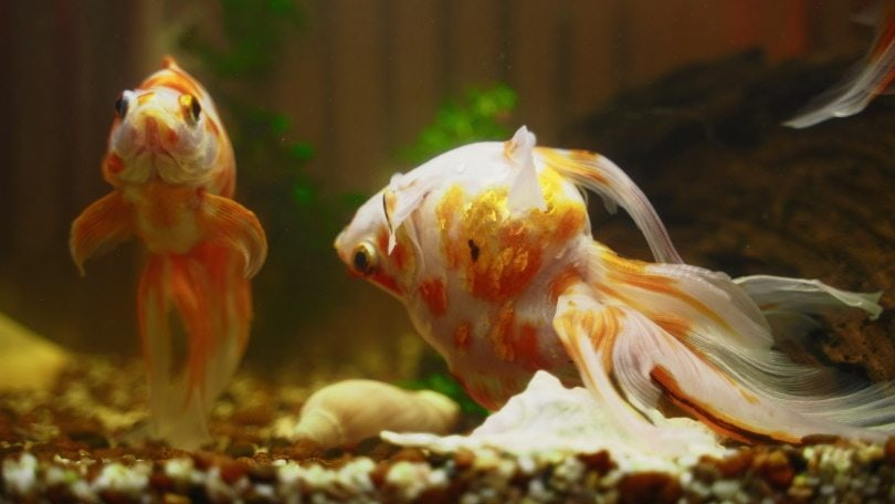 dying goldfish_M-Production_Shutterstock