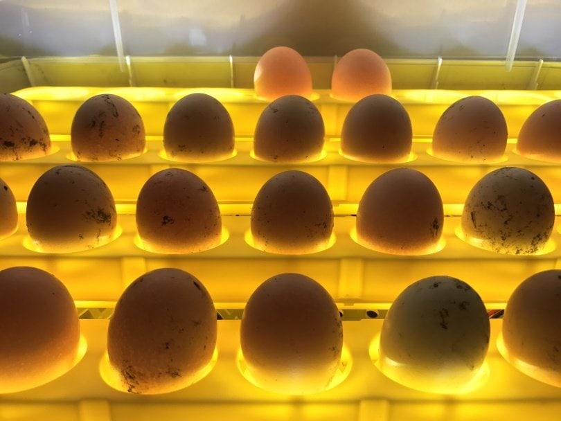 egg incubator_SutidaS_Shutterstock
