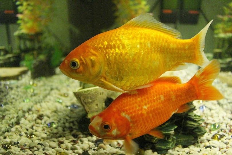eggfish goldfish_Csaba Nagy_Pixabay