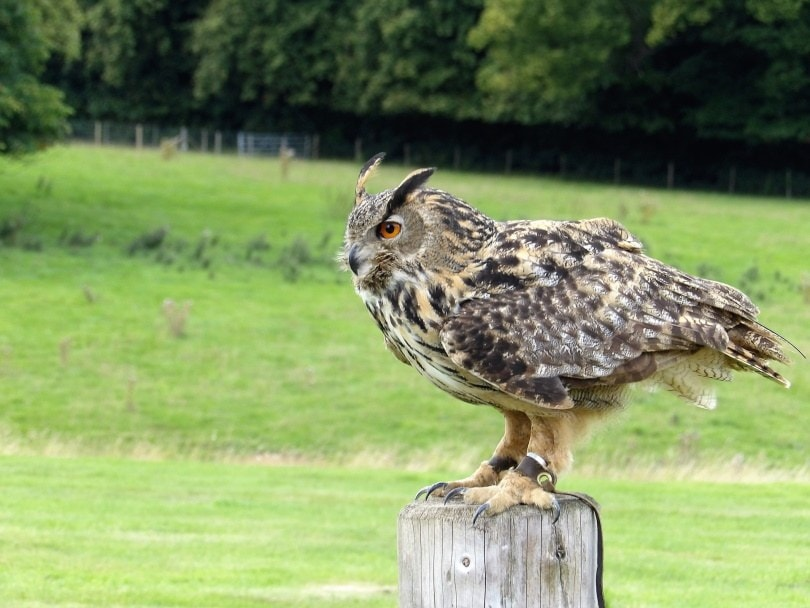 eurasian eagle owl_Kevinsphotos_Pixabay