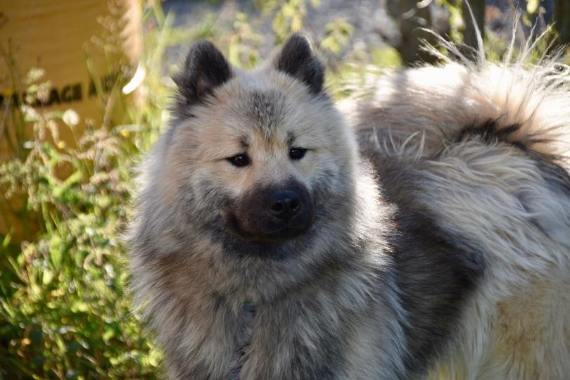 eurasier dog_JackieLou DL_Pixabay