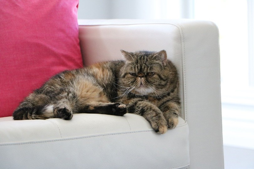exotic shorthair cat lying on couch