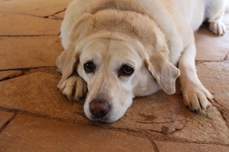 fat lazy dog