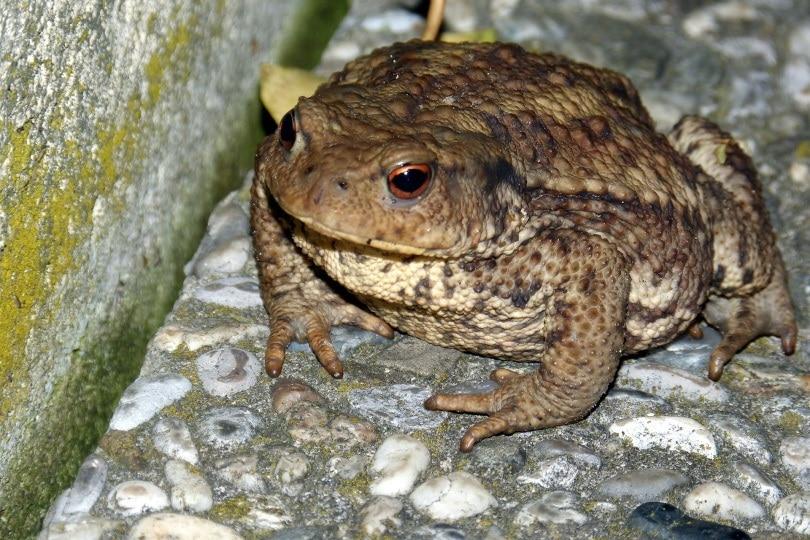 fat toad_Alois Grundner_Pixabay