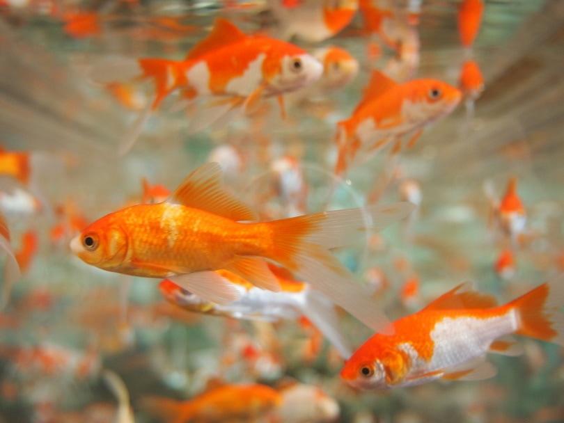 feeder gold fish_kaori_Pixabay
