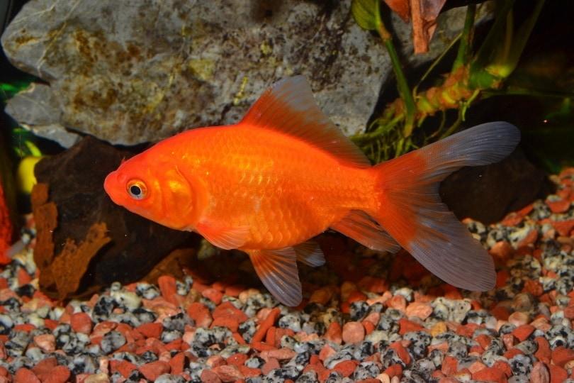 feeder goldfish_JuanCarlosPalauDiaz_Shutterstock