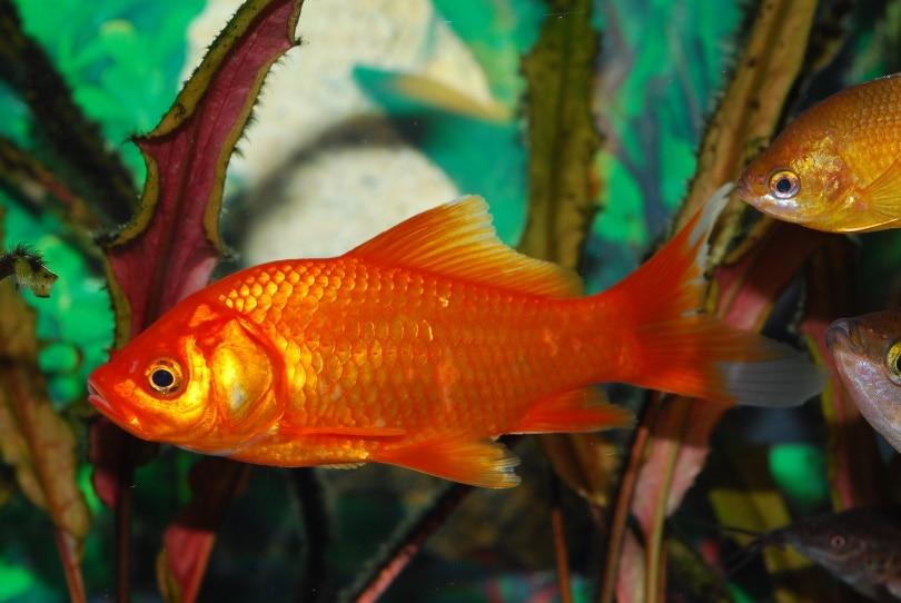 feeder goldfish_Pixabay