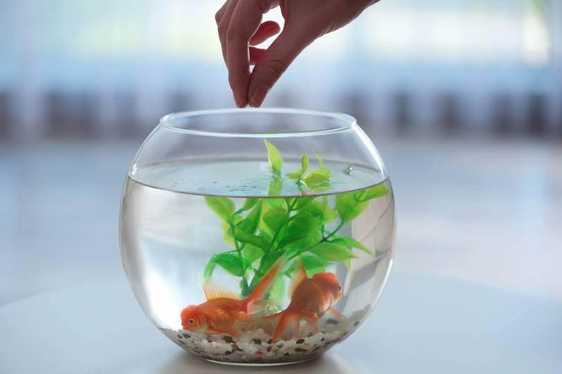 feeding goldfish_New Africa_Shutterstock