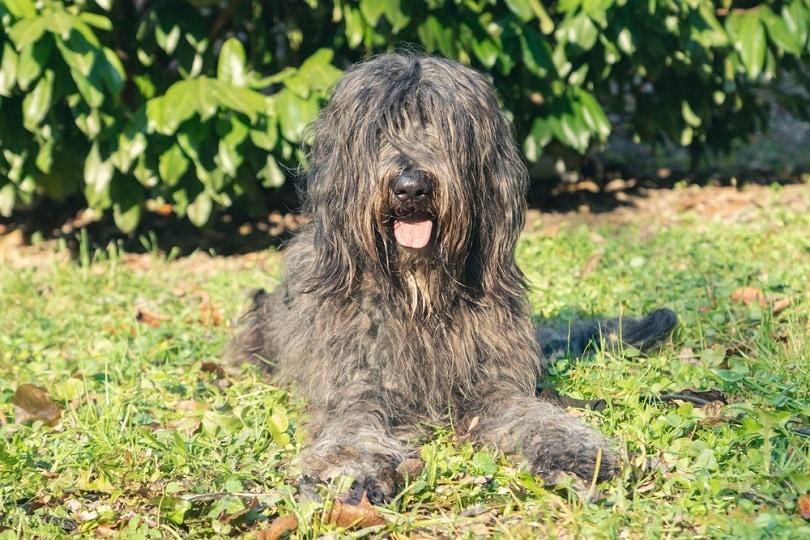 female-Bergamasco-Shepherd-dog_MarinaGreen_shutterstock