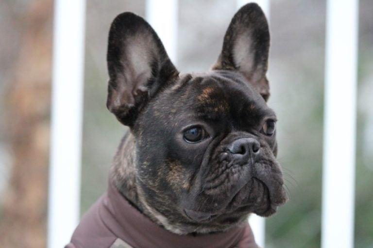 french bulldog_Shutterstock_KPV89